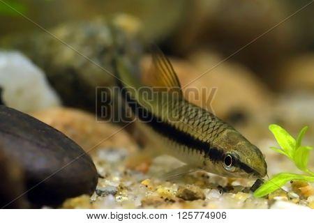 Close up of Siamese algae eater in freshwater aquarium