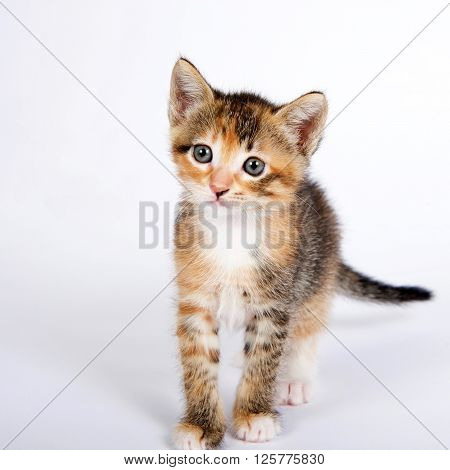 Five Week Old Calico Tortie Tabby Kitten On Off White Background
