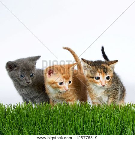 Three five week old kittens standing behind blades of grass looking to once side. Gray orange and calico tortie tabby kittens.