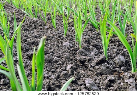 organically cultivated garlic plantation in the vegetable garden