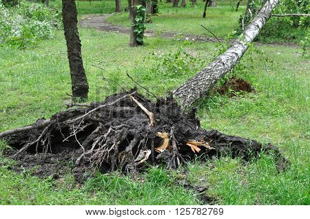 fallen tree after windy storm in the park