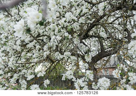 Old garden apple tree in spring full bloom covering with snowy white flowers at country farm log house background