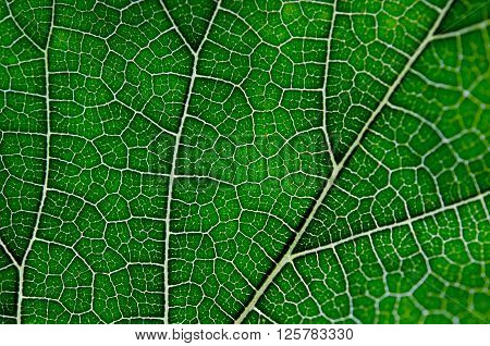 Texture Of Green Leaf And Veins