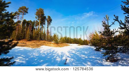 Forest glade with young and tall pine trees in the early spring.