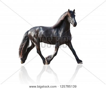 isolate of the black Frisian horse runs on a white background