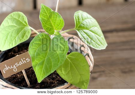 Young physalis seedling with cardboard and copyspace
