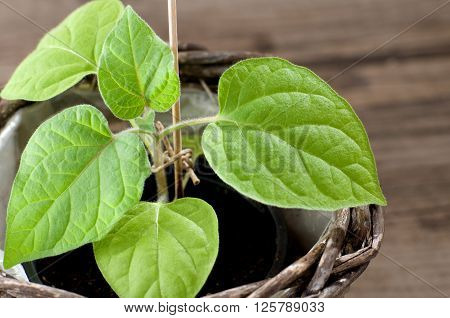 Young Cape Gooseberry plant grows in a pot