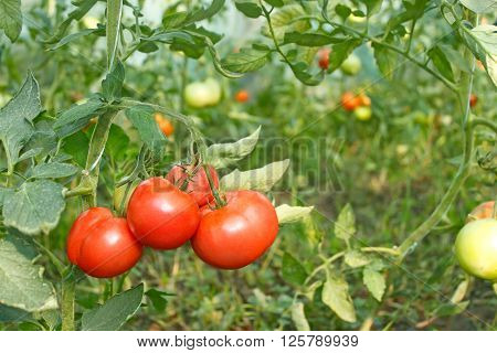 Bunch of red ripe tomatoes hanging in greenhouse