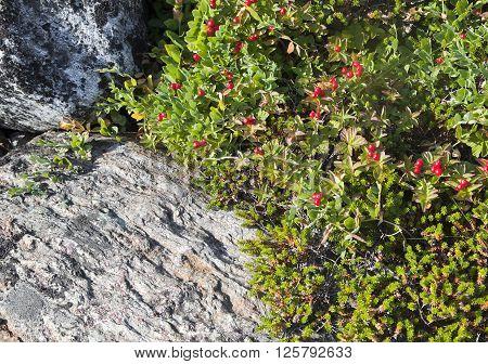 Dwarf Cornel - Bunchberry Cornus suecica - with berries