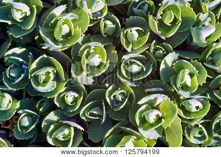 Close the leaves of the plants of the genus Sedum pachyclados