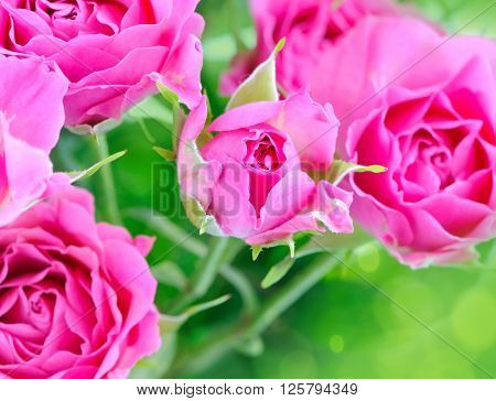 Romantic background with pink roses. Close up