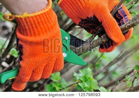 Hands With Gloves Of Gardener Doing Maintenance Work, Cutting The Bush