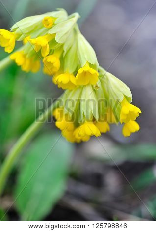 Cowslip Flowers (primula Veris) On A Spring Meadow, Close-up, Selective Focus