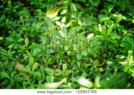 Ginseng plant growing in wilderness, close up, horizontal image