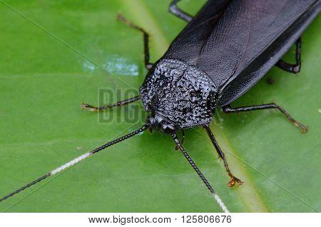 a black Jungle Roach Catara rugosicollis, male