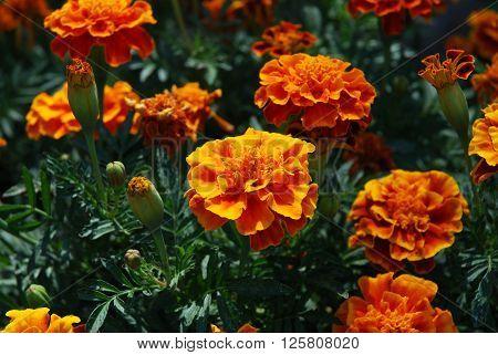 Orange marigolds. Tagetes erecta.Field of summer flowers