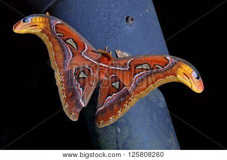 beautiful and colorful Atlas moth (Attacus atlas)