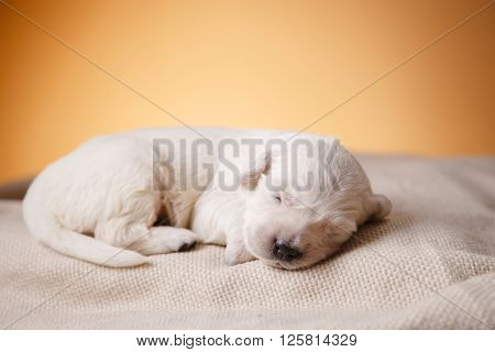Little Puppy Golden Retriever