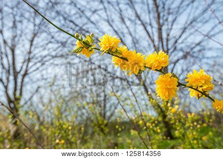 Yellow blooming and budding twig of a Kerria japonica bush in springtime against a blurred natural background