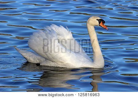 A mute swan (Cygnus olor) swimming on a blue lake.