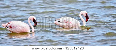 Lesser Flamingos feeding early in the morning