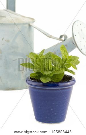 Selective focus on an image portraying indoor windowsill garden with a mint plant in a small blue pot with a watering can in the background on white