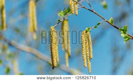branch with birch buds located on the background of blue sky