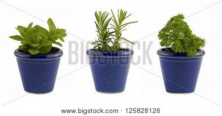 Selection of three herbs mint rosemary and parsley in small blue ceramic pots to portray windowsill or window-box gardening isolated on white