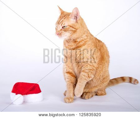 Orange tabby cat sitting next to small santa hat looking irritated like going to catch that elf