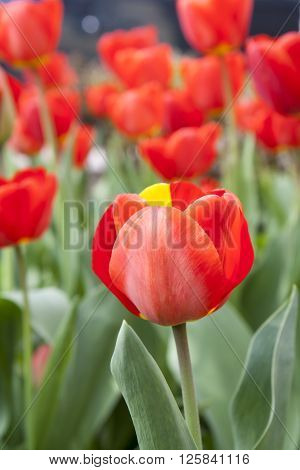 Beautiful Red Tulips At The Garden
