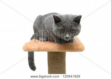 small kitten ((breed Scottish Straight) on white background. horizontal photo.