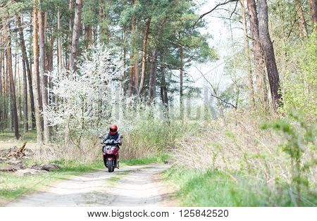 Motorcyclist rides on a dirt road in the forest. Forest landscape in the spring morning. Wild fruit tree blooms in the forest near the road.