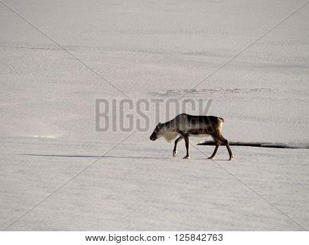Icelandic deer crosses the snowy white field