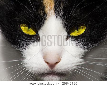 Severe predatory evil cat eyes. Bright contrast picture the theme - the life of animals.