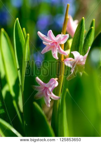 Hyacinth plant with flowers (Hyacinthus orientalis) .