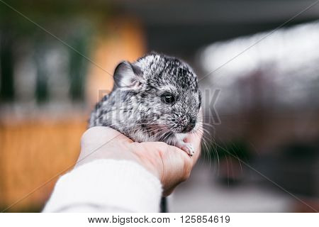 Chinchilla Baby Kids sitting on your hands. Chinchilla Baby Kids sitting on your hands