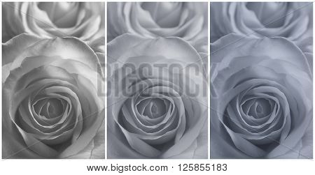 Collage of three closeup view of the flower of a rose in a grey tinge.