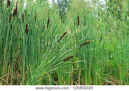 growing young green reeds in the swamp