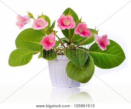 Beautiful flower gloxinia in pot isolated on white background