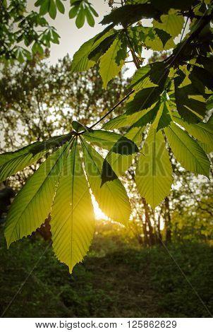 Evening Sun Breaks Through The Leaves Of Chestnut