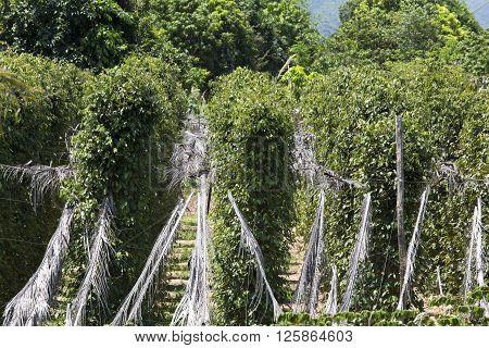 peppercorn plants at farm in south Cambodia