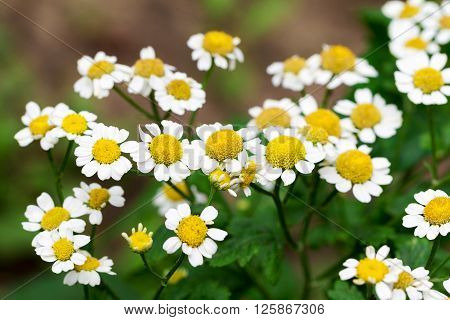 Beautiful Flowers Of White Daisies Background Blur Selective Focus