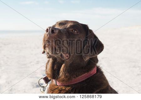 Close up of brown dog at beach. Labrador retriever enjoying at beach. Dog looking up at seaside.