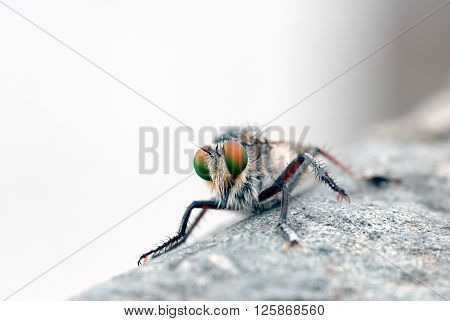 A macro shot of a robber fly (killer fly)