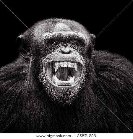 Chimpanzee Xvii