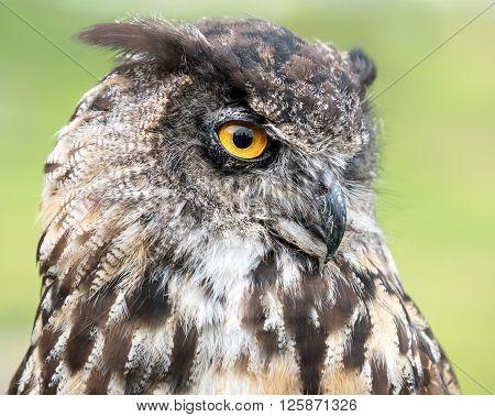 Eurasian Eagle Owl Iii