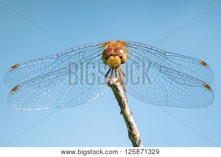 Spot-winged Meadowhawk Iv