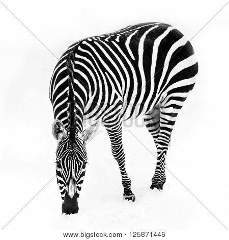 Zebra In Snow