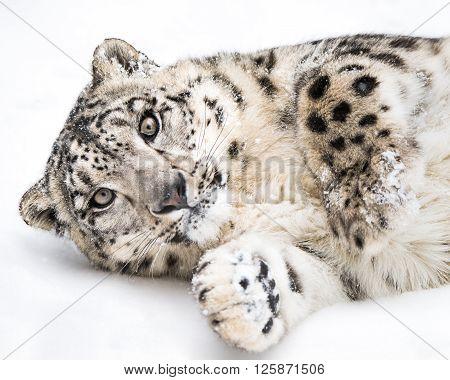 Playful Snow Leopard Iii