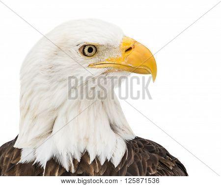 Bald Eagle In Snow Iii